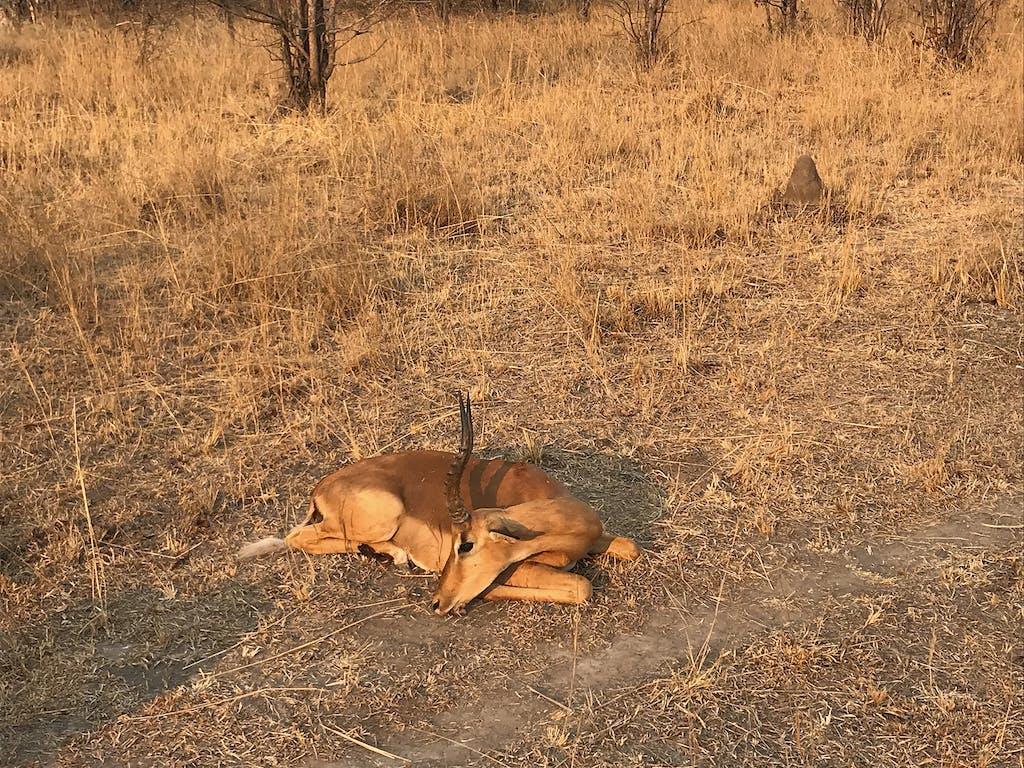 Impala dead